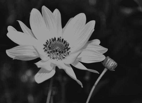 flower by Laslo