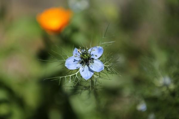 Pretty blue flower by photopix12