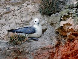 Fulmar on Nest