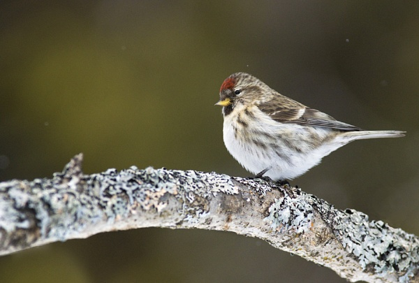 Common redpoll by jacques st-jean