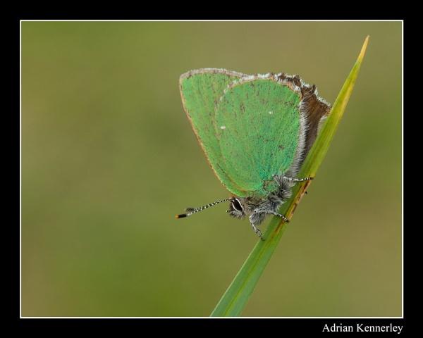 Green Hairstreak by tomcat