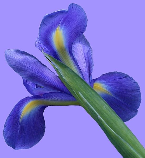 Iris by ChristineD
