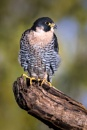 Peregrine Falcon by ChrisWallace