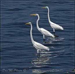 Great Egrets Three