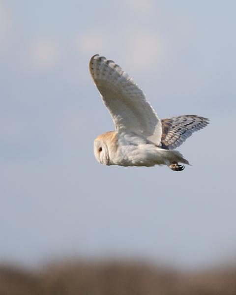 Barn Owl by Malty