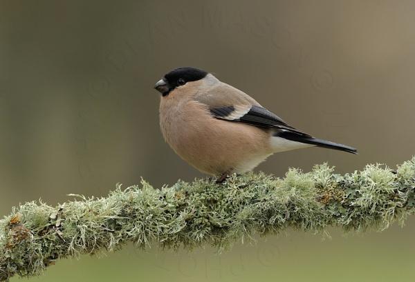 Mrs Bullfinch by WindowonWildlife
