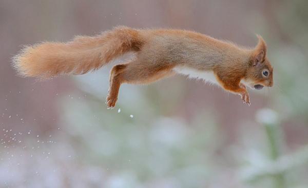 Red Squirrel in Flight by Rev2