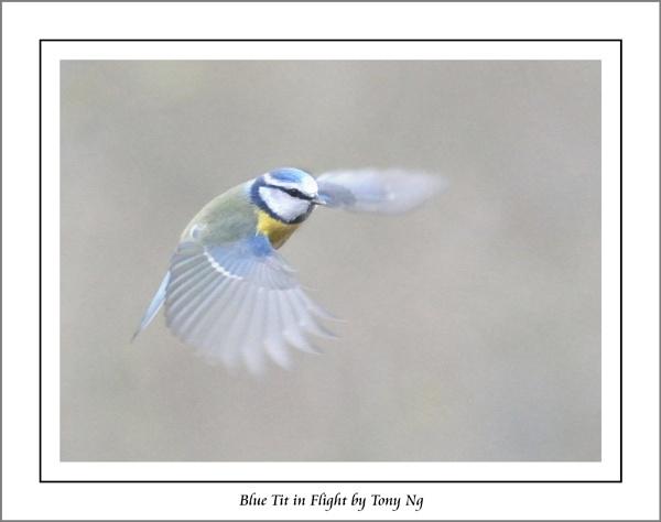 Blue Tit in Flight by tonyng