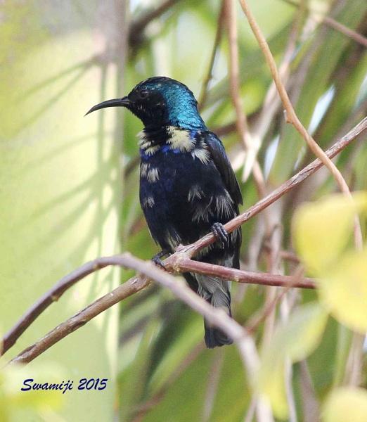 Sunbird by Swamiji