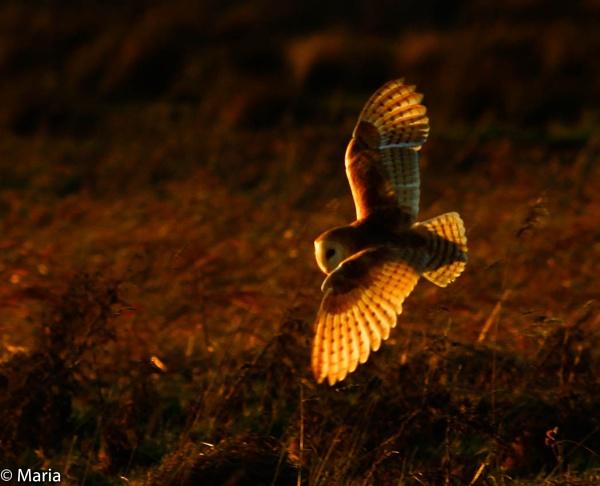 Barn Owl by MariaElaine
