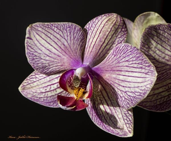 Phaleanopsis. by Jukka