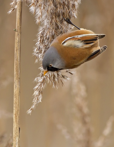 Male Bearded Tit by dave1967