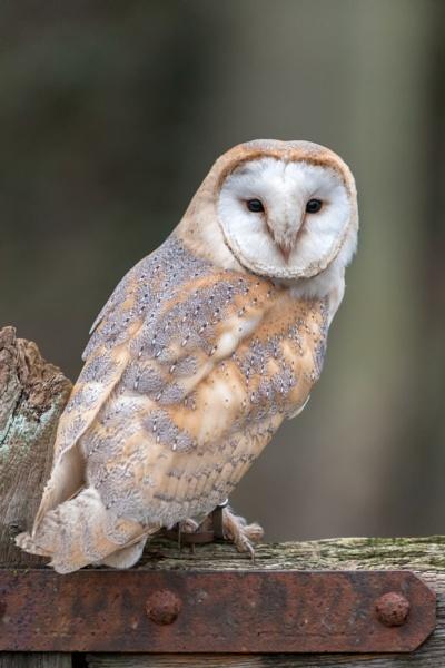 Posed Barn Owl by livinglevels