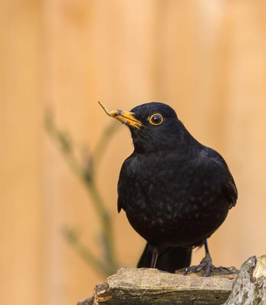 Blackbird by ali63