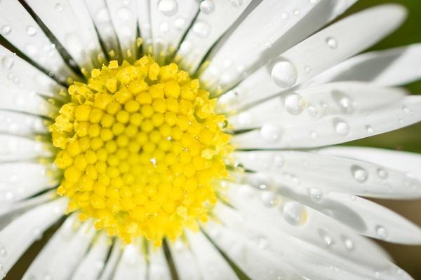 Daisy by gouldii