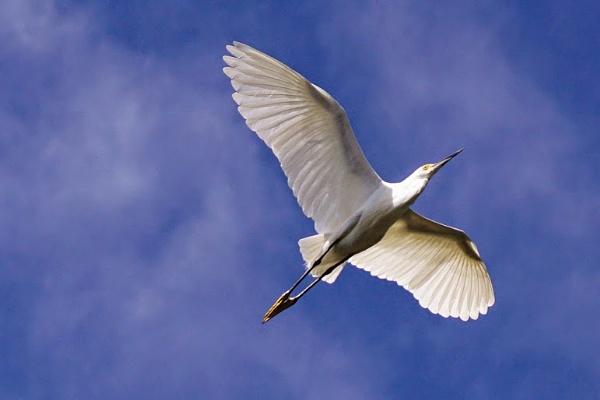 White Heron by TT999