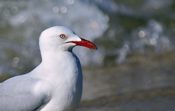 Silver Gull by steevo46