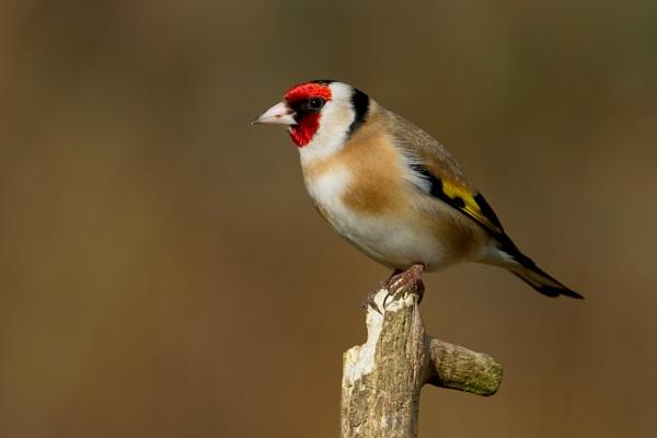 Goldfinch by trevrob