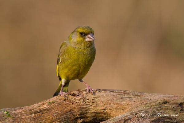 Greenfinch by trevrob