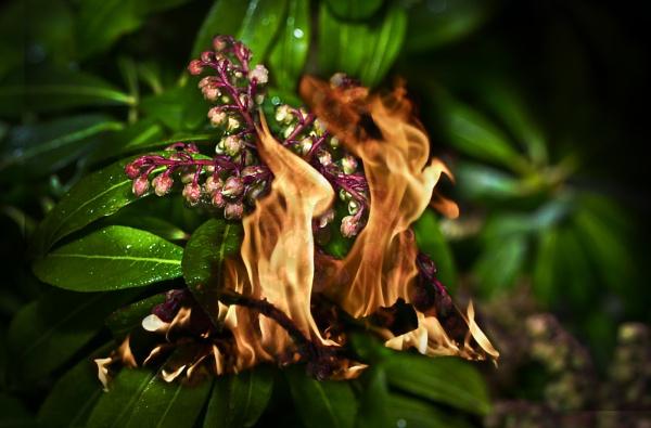 Fireflame...AKA Pieris by Leo