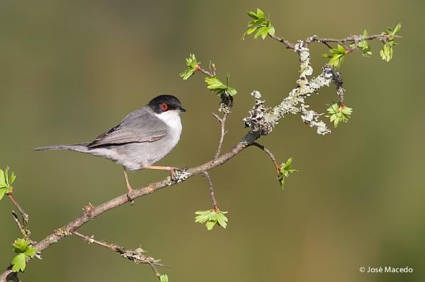 Sardinian warbler (Sylvia melanocephala) by lord_macedo