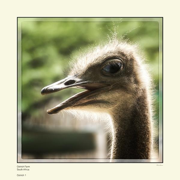 Ostrich by Pentaphobian