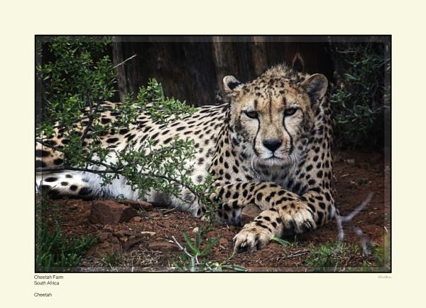 Cheetah by Pentaphobian