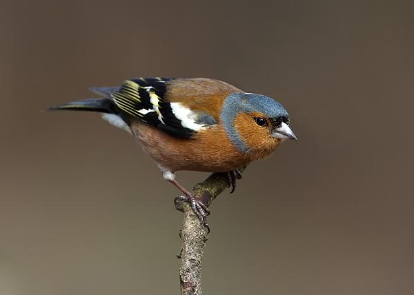 Male Chaffinch (Fringilla coelebs) by DerekL