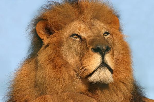 King of the jungle! by Ian Pratt