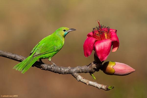 Jerdon\'s Leafbird by subashcr