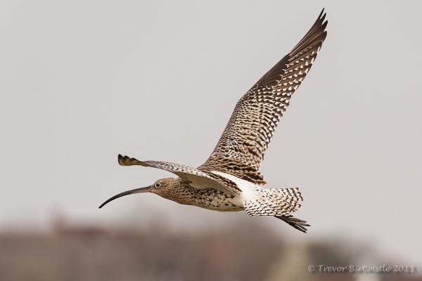 Curlew In Flight by Trev_B