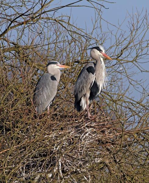 grey heron pair by shaver