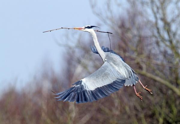 grey heron by shaver