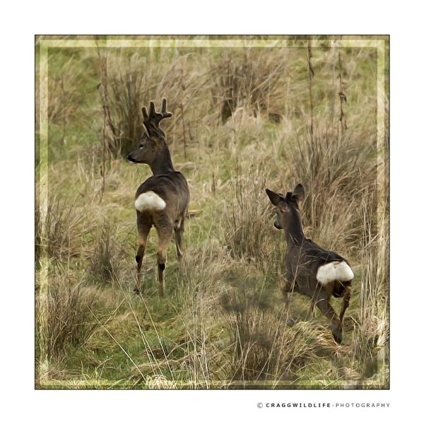 Chadderton wildlife by craggwildlifephotography