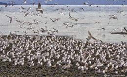 Squawking Seagulls