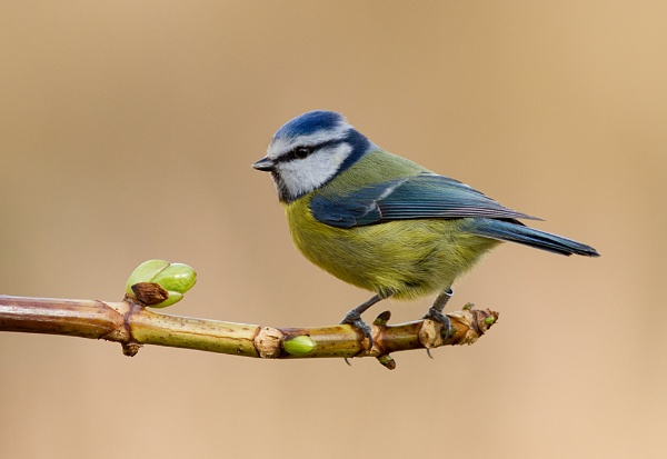 Blue Tit by Brian65