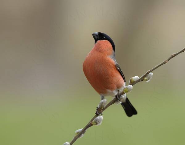 Mr Bullfinch aka tha Toff ! by WindowonWildlife