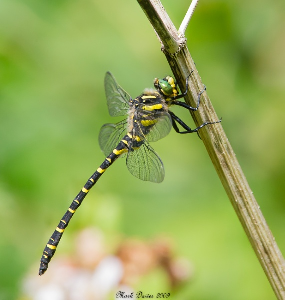Golden-ringed dragonfly... by MD2009