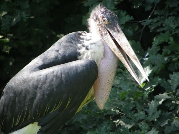 Marabou Stork by kish123