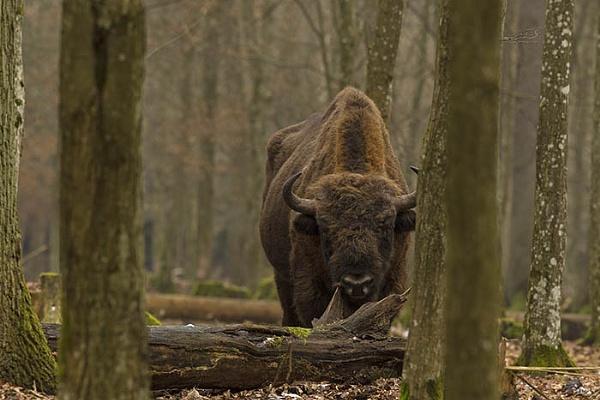 Wild European Bison by hibbz