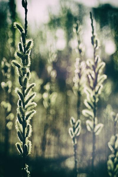 Willow Catkins 3 by gowebgo