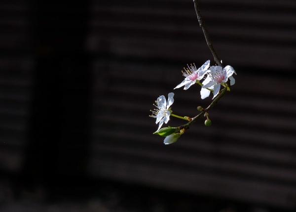 Plum Blossom by rickhanson