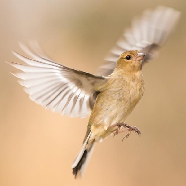 finch in flight by Nikgreg1970