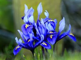 Miniature Iris.