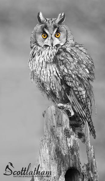 Long-eared Owl by WildlifeScott