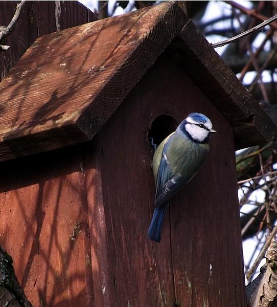 Nesting Blue Tit by Crespo