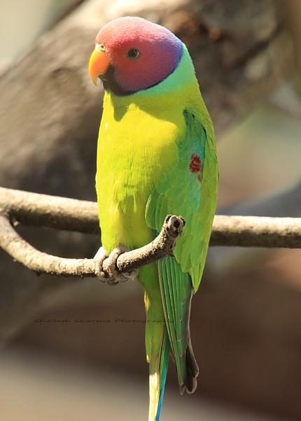 Plum headed Parakeet. by Dead_habits
