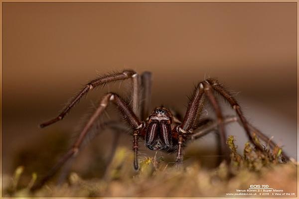 Spider lovers - a Tegenaria Gigantea by Paul_Iddon