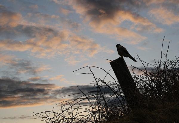 Hunter at Dusk. by paulbroad