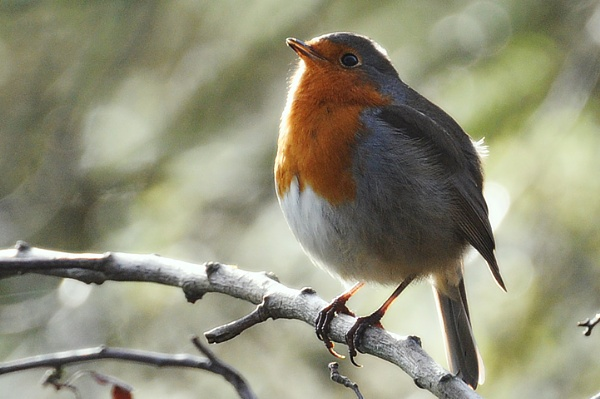 Just A Robin by Andysnapper